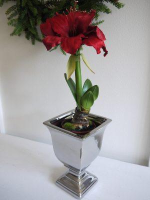Rod naturtrogen amaryllis
