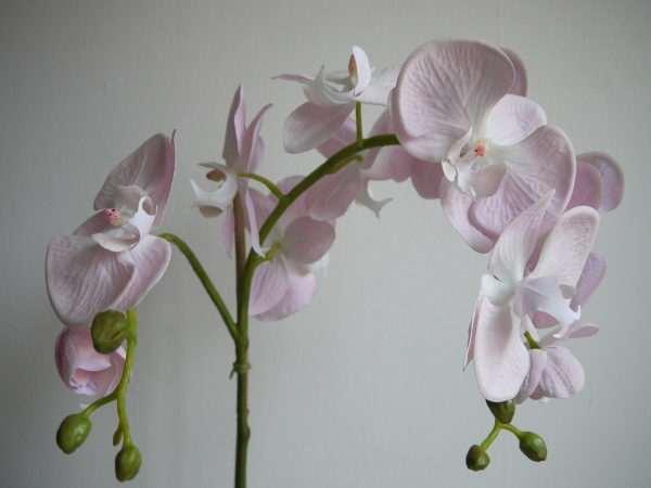orkide-rosa
