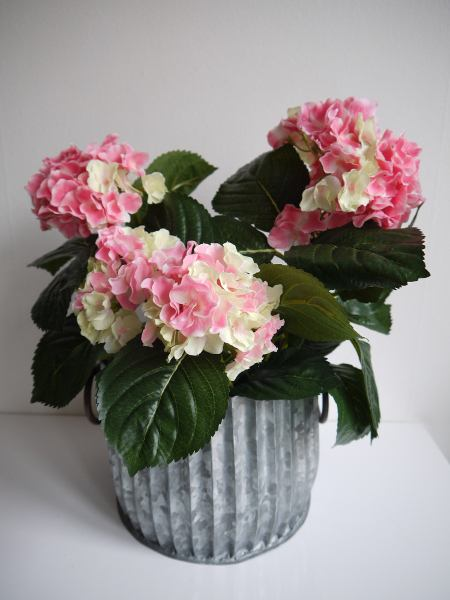 rosa-hortensia