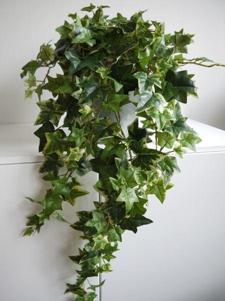 hängande murgröna