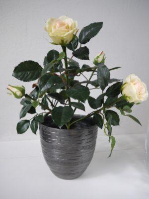 Naturtrogen kramfargad ros i innerkruka